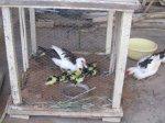 2. Ducklings